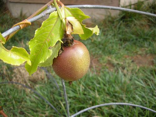 Passionfruit ripening