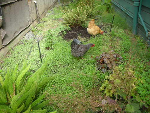 Chickens cleaning up in the Fern Walk