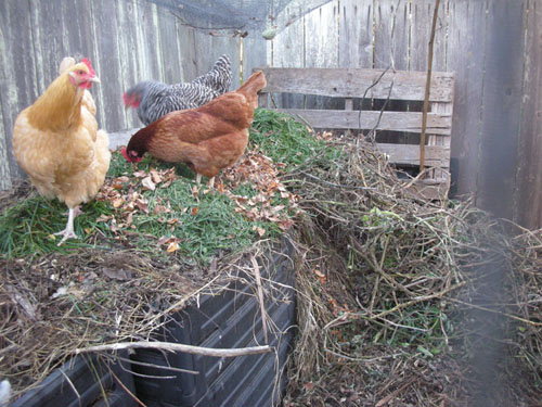 Chickens working on the compost