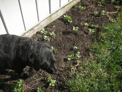 Rosie in the favas