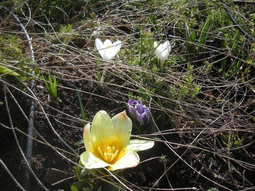 Tulips and crocus