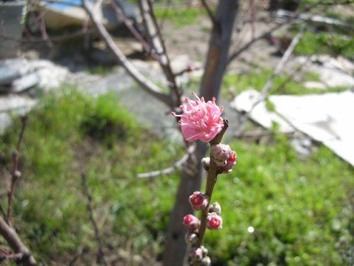 New buds on the nectarines and peaches