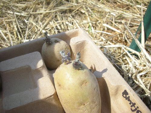 Chitted potato