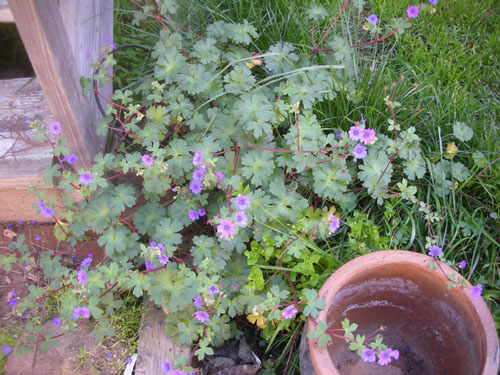 Geranium by the stairs