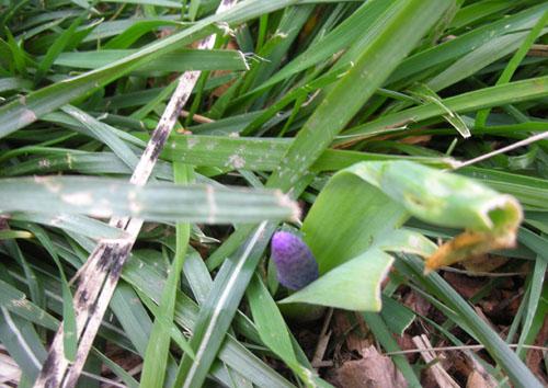 Grape hyacinth wand