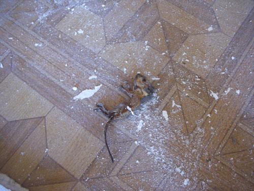 Dead mouse #1