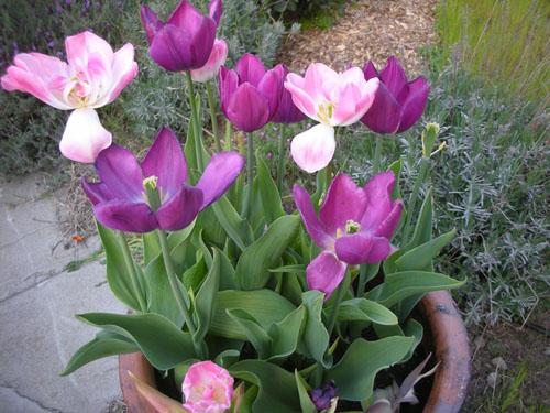 Tulip container