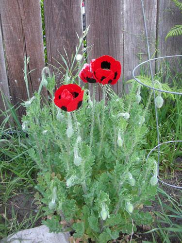 Ladybug poppies