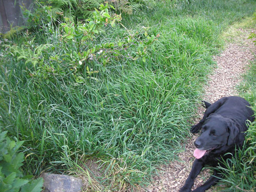 Rosie and the overgrown grass