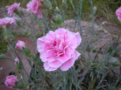 A pink dianthus