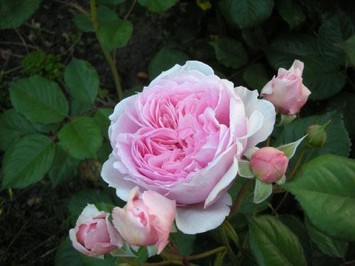Geoffrey Hamilton rose