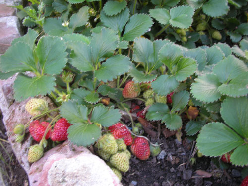 New strawberries