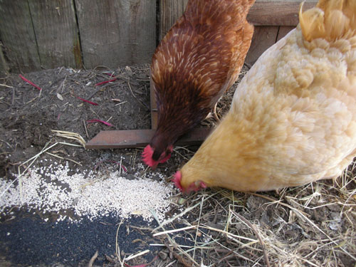Chickens enjoying some waste grains
