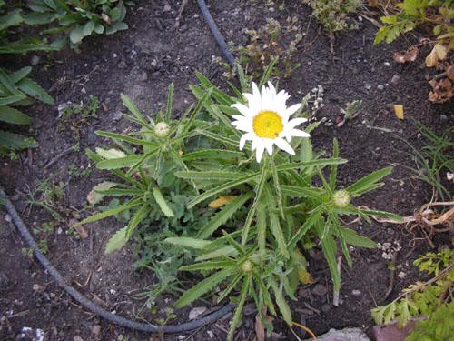Leucanthemum x superbum 'Tinkerbelle'