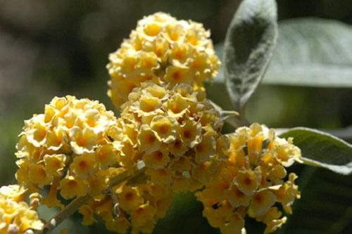 Honeycomb buddleia