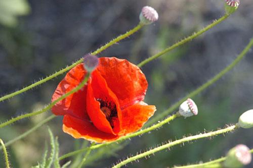 Flanders poppy