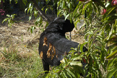 Rosie inspects the nectarine trees