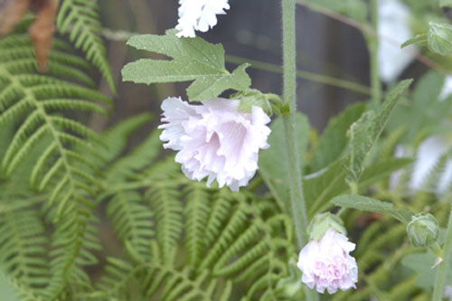 Hollyhock in bloom