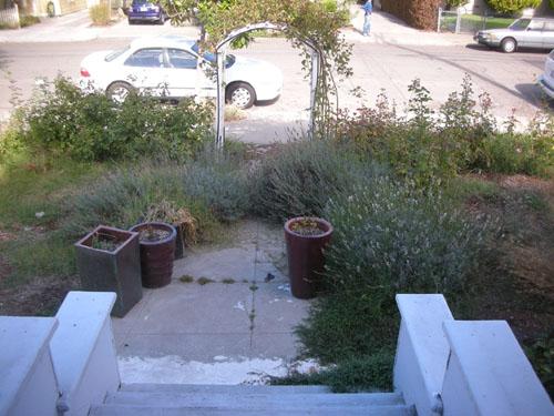 Overgrown lavender pathway