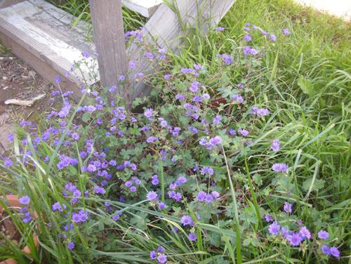 Side steps geranium