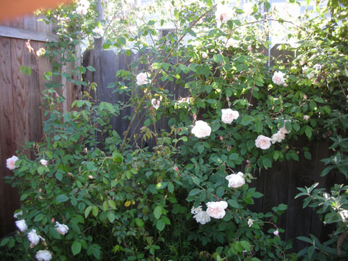 Rose at the back of the yard going nuts