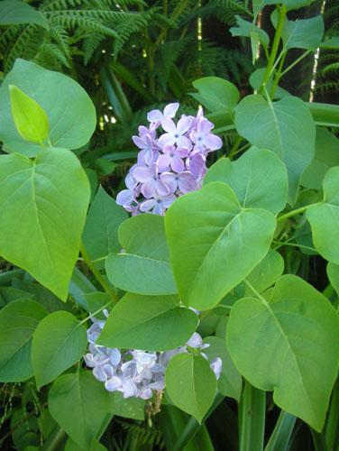 Blue Skies Lilac