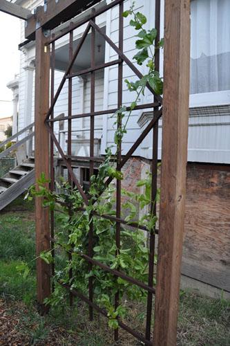 Passiflora threaded through trellis