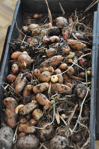 Potatoes removed from the garden