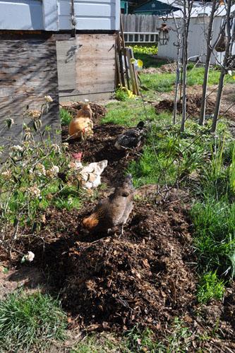 Chickens doing the raking work