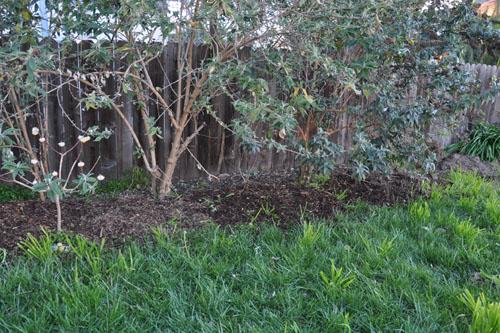 Mulching under the buddleias