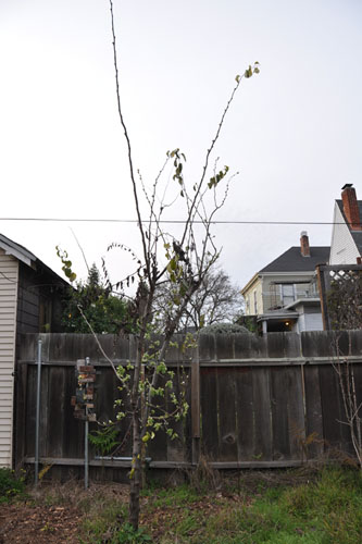 Quince tree with blight