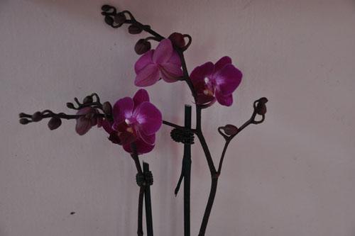 Phalaenopsis orchid #2