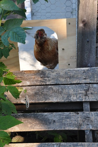 The chickens finally know how to use their door!