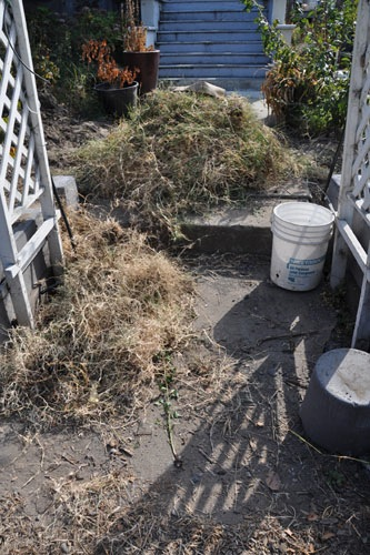 Dug-out dead Bermuda grass