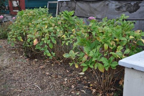 Pruned and weeded hydrangeas