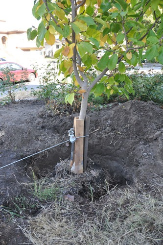 Trench around the tree, and tree upright