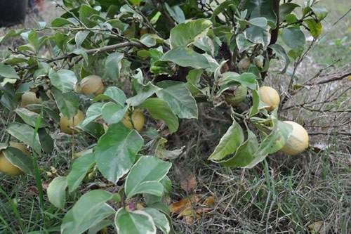 Lemons on the variegated lemon tree