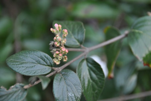 Flower buds on the viburnum