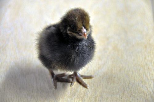Third chick