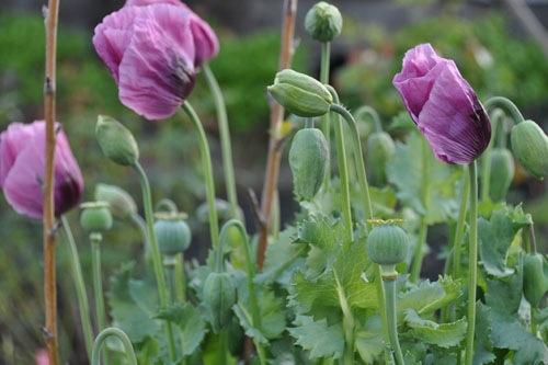 Poppy monster in bloom