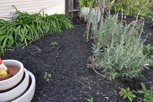 The Salvia garden