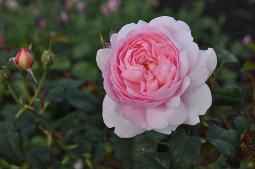 Rose hedge blooming