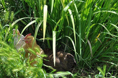 Chickens in the irises