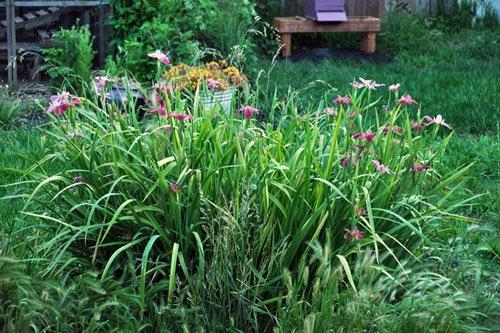 Nelson irises in bloom