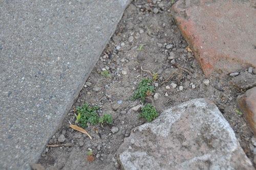 Tiny bits of elfin thyme
