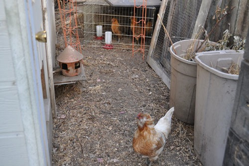 Dolly menacing the little chickens