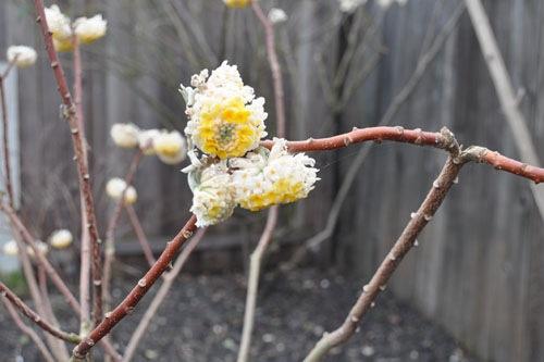 E. chrysantha blossom