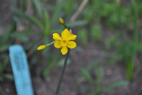 Teeny-tiny daffodils