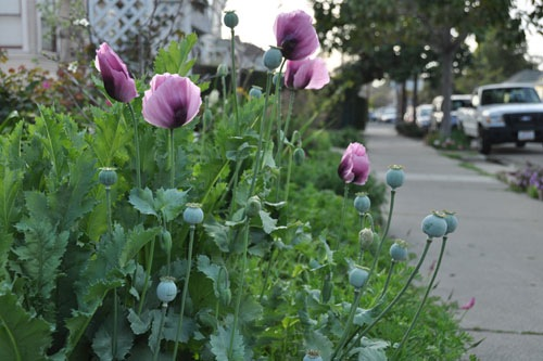 Lavender breadseed poppies