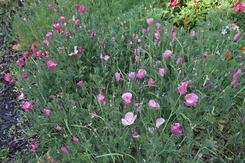 Beloved pink poppies